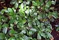 Camellia sinensis 4zz.jpg