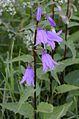 Campanula rapunculoides (8337809144).jpg