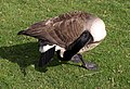 Canada Goose, Studley Park - geograph.org.uk - 1263558.jpg