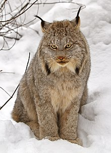 A Canada lynx sitting in snow