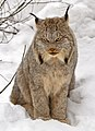Canada lynx by Michael Zahra (cropped).jpg