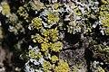 Candelaria concolor (34641748964).jpg