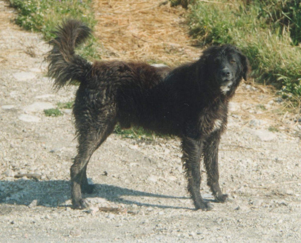 cane di mannara - wikipedia