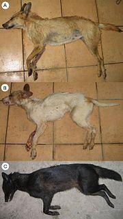 Jackal–dog hybrid