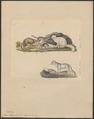 Canis lagopus - 1834 - Print - Iconographia Zoologica - Special Collections University of Amsterdam - UBA01 IZ22200283.tif
