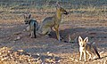 Cape Foxes (Vulpes chama) (6499482415).jpg