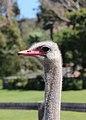Cape Point Ostrich Farm 01.jpg