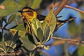 Cape may WARBLER X.jpg