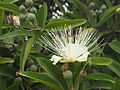 Capparis lasiantha flower with Belenois java adult in background.jpg