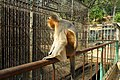 Capped langur, Chittagong Zoo (02).jpg