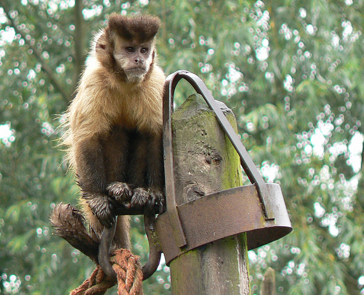File:Capuchin monkey by e3000.jpg