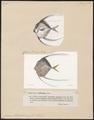 Caranx alexandrinus - 1700-1880 - Print - Iconographia Zoologica - Special Collections University of Amsterdam - UBA01 IZ13500405.tif