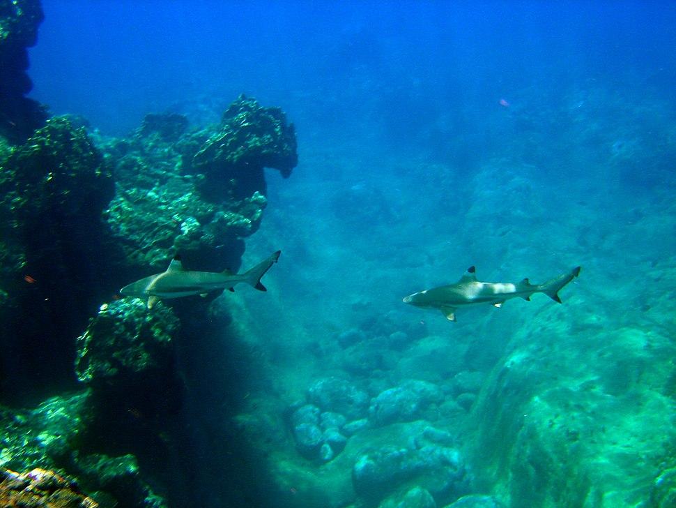 Carcharhinus melanopterus guam 2