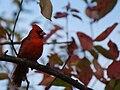 Cardinalis cardinalis male 02.jpg