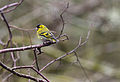 Carduelis spinus -Wales, UK -male-8.jpg