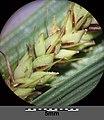 Carex acutiformis sl32.jpg