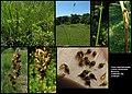 Carex appropinquata (01).jpg