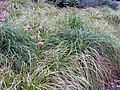 Carex morowii Kaga Nishiki 0zz.jpg