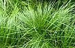 Carex pensylvanica kz1.jpg