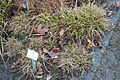 Carex viridula subsp. oedocarpa (Carex demissa) - Botanischer Garten, Dresden, Germany - DSC08756.JPG