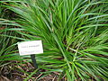 Carex wahuensis in Lyon Arboretum.jpg