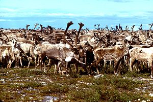 Thelon River - Barren-ground caribou above the Hanbury River junction near the Thelon River in 1978