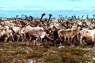 Barren-ground caribou subspecies of deer