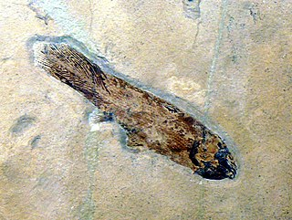 <i>Caridosuctor</i> species of fish (fossil)
