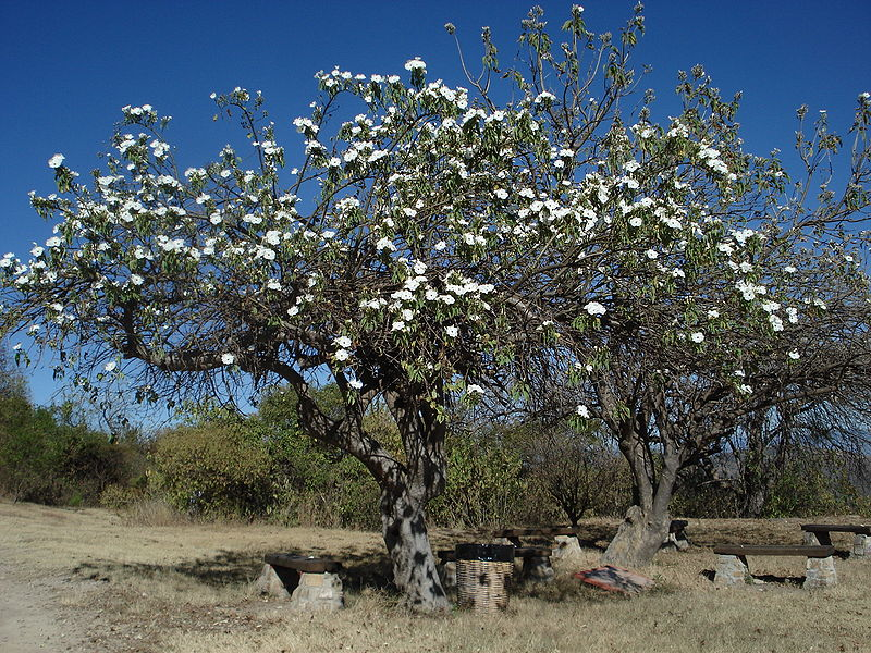 Casahuate Tree in Monte Alban