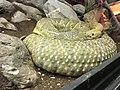 Cascabel del Pacífico (Crotalus basiliscus)2.jpg