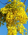 Cassia Fistula (Golden Shower Tree) (28993368851).jpg