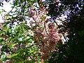 Cassia grandis (481169597).jpg