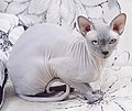 Cat - Sphynx. img 091.jpg