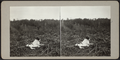 Cat lying in a field, from Robert N. Dennis collection of stereoscopic views.png