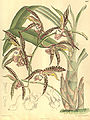 Catasetum saccatum (as C. christyanum) - Curtis' 131 pl. 8007 (1905).jpg