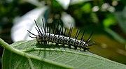 Caterpillar-ZebraLongwing-01 crop.JPG