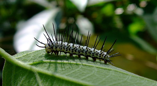 Caterpillar-ZebraLongwing-01 crop