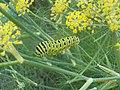 Caterpillar of Black Swallowtail Butterfly.jpg