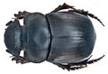 Catharsius molossus (Linné, 1758) female (15359705894).png
