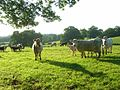 Cattle, Arborfield - geograph.org.uk - 839933.jpg