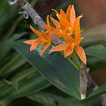 Cattleya aurantiaca GotBot 2015 001.jpg