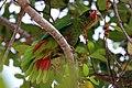Cayman parrot (Amazona leucocephala caymanensis).JPG