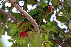 Cuban amazon - Image: Cayman parrot (Amazona leucocephala caymanensis)