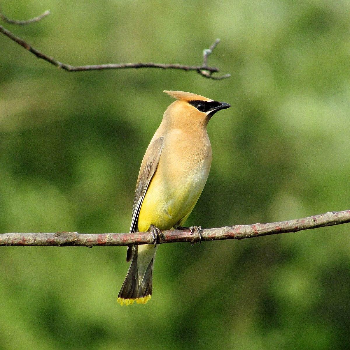 Cedar waxwing wikipedia for Birdhouse types