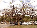 Ceiba erianthos 04.jpg