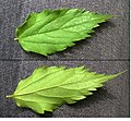 Celtis australis leaves (upperside and underside).jpg