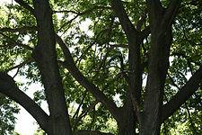 Celtis occidentalis 08851.jpg