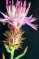 Centaurea diffusa 1459254.jpg