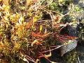 Ceratodon purpureus 2.jpg