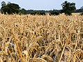 Cereal to be harvested - August 2012 - panoramio.jpg